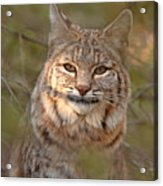 Bobcat Portrait Surrounded By Pine Acrylic Print by Max Allen