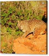 Bobcat Prowling Acrylic Print