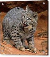 Bobcat Ready--and Willin' Acrylic Print