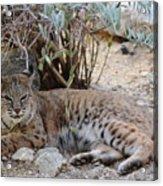 Bobcat Resting Acrylic Print