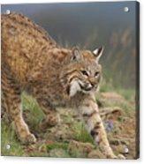 Bobcat Stalking North America Acrylic Print by Tim Fitzharris