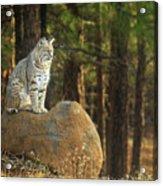Bobcat Thoughts Acrylic Print