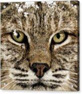 Bobcat Whiskers Acrylic Print