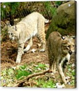 Bobcats Begin To Hunt Acrylic Print