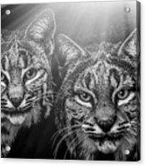 Bobcats Acrylic Print