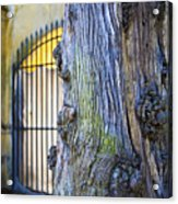 Boboli Garden Ancient Tree Acrylic Print