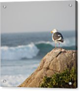 California Gull 2 - Bodega Head Sentinel  Acrylic Print