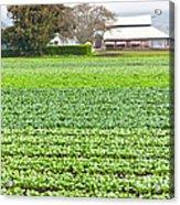 Bok Choy Field And Farm Acrylic Print