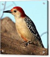 Bold Woodpecker Acrylic Print