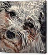 Bolognese Breed Acrylic Print