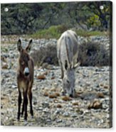 Bonaire Wild Donkeys 2 Acrylic Print