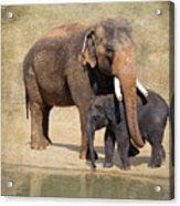 Bonding - Asian Elephants Houston Zoo Acrylic Print