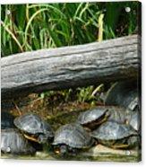 Bonding Box Turtles Acrylic Print