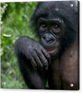 Bonobo Pan Paniscus Juvenile Orphan Acrylic Print