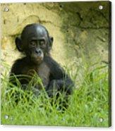 Bonobo Tyke Acrylic Print