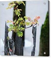 Bonsai Mountain-ash Acrylic Print