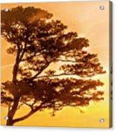 Bonsai Pine Sunrise Acrylic Print
