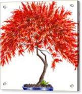 Bonsai Tree - Inaba Shidare Acrylic Print