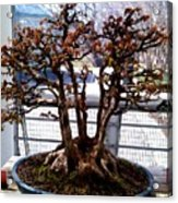Bonsia Tree Garden Acrylic Print