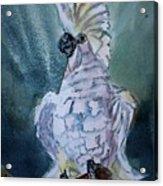 Boo The Umbrella Cockatoo Acrylic Print