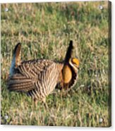 Booming Greater Prairie Chicken 5 Acrylic Print