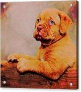 Bordeaux Mastiff Pup Acrylic Print