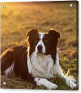 Border Collie At Sunset With Warm Colors Acrylic Print