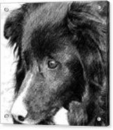 Border Collie In Pencil Acrylic Print by Smilin Eyes  Treasures