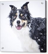 Border Collie In The Snow Acrylic Print