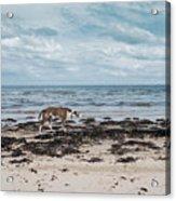 Borzoi Dog Stalking Alnmouth Beach Acrylic Print