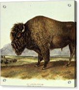 Bos Americanus, American Bison Acrylic Print