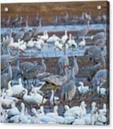 Bosque Cranes And Geese Acrylic Print