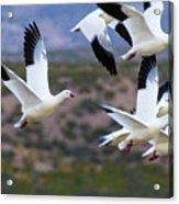 Bosque Snow Geese Flyover Acrylic Print