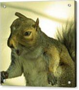 Bossy Squirrel Acrylic Print