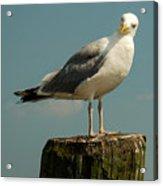 Boston Bay Birdy Acrylic Print