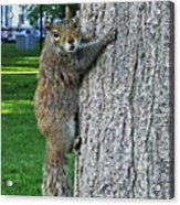 Boston Common Squirrel Hanging From A Tree Boston Ma Acrylic Print