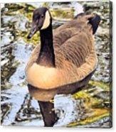 Boston Public Garden Goose Acrylic Print