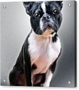 Boston Terrier By Spano Acrylic Print