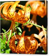Botanical Art Prints Orange Tiger Lilies Master Gardener Baslee Troutman Acrylic Print