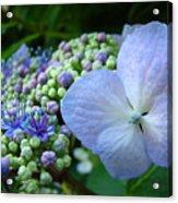 Botanical Garden Blue Hydrangea Flowers Baslee Troutman Acrylic Print