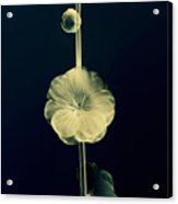 Botanical Study 6 Acrylic Print
