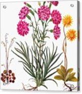 Botany: Flowers, 1613 Acrylic Print