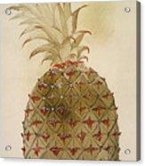 Botany: Pineapple, 1585 Acrylic Print