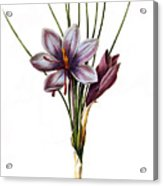 Botany: Saffron Acrylic Print by Granger