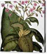 Botany: Tobacco Plant Acrylic Print
