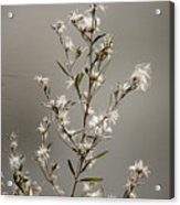 Botswana Wildflower  Acrylic Print