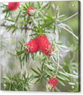 Bottlebrush Acrylic Print