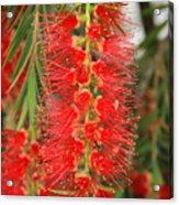 Bottlebrush Tree Acrylic Print