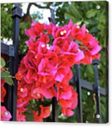 Bougainvillea On Southern Fence Acrylic Print