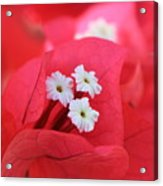 Bougainvilleas And White Acrylic Print